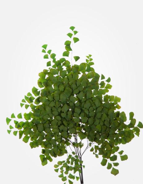 Yeşil Atölye - Şoklanmış Yaprak - Adianthum Fern