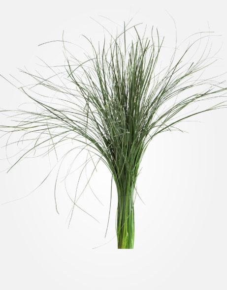 Yeşil Atölye - Şoklanmış Yaprak - Bear Grass