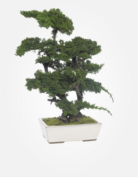 Yeşil Atölye - Şoklanmış Bitkiler - Bonsai Procumbes