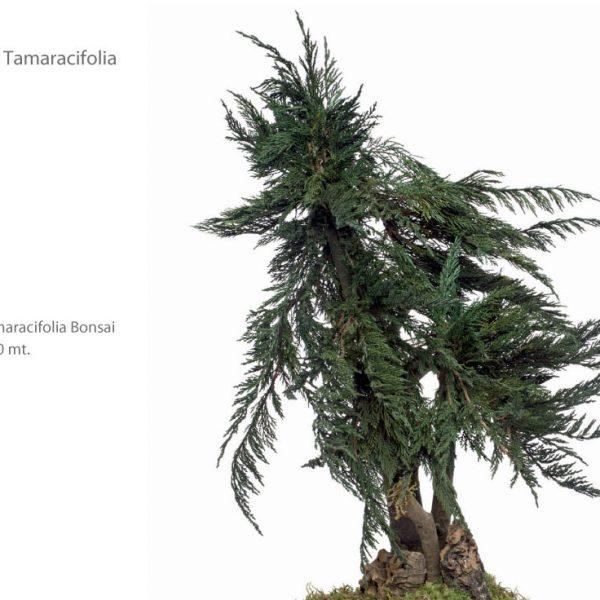 Yeşil Atölye - Şoklanmış Bitkiler - Bonsai Tamaracifolia