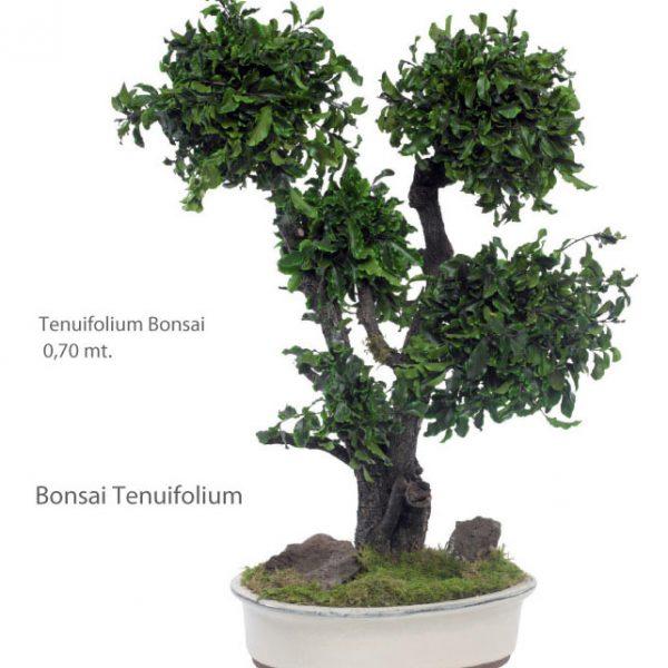 Yeşil Atölye - Şoklanmış Bitkiler - Bonsai Tenuifolium
