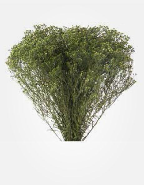 Yeşil Atölye - Şoklanmış Yaprak - Broom
