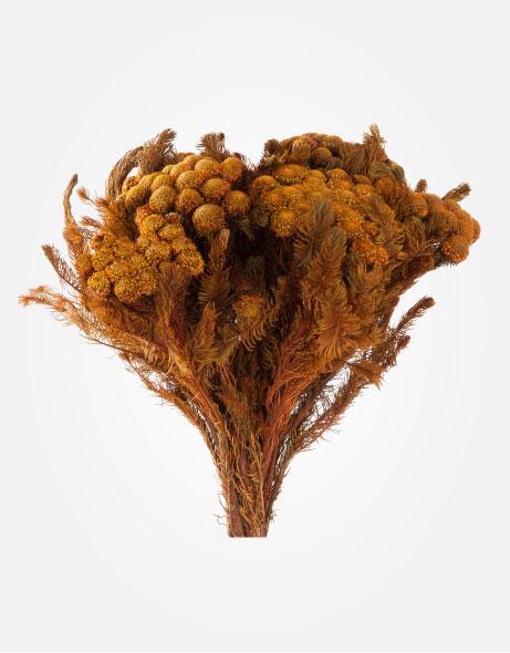 Yeşil Atölye - Şoklanmış Yaprak - Brunia Albiflora
