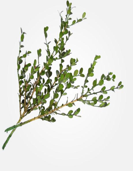 Yeşil Atölye - Şoklanmış Yaprak - Buxus