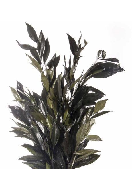 Yeşil Atölye - Şoklanmış Yaprak - Cocculus
