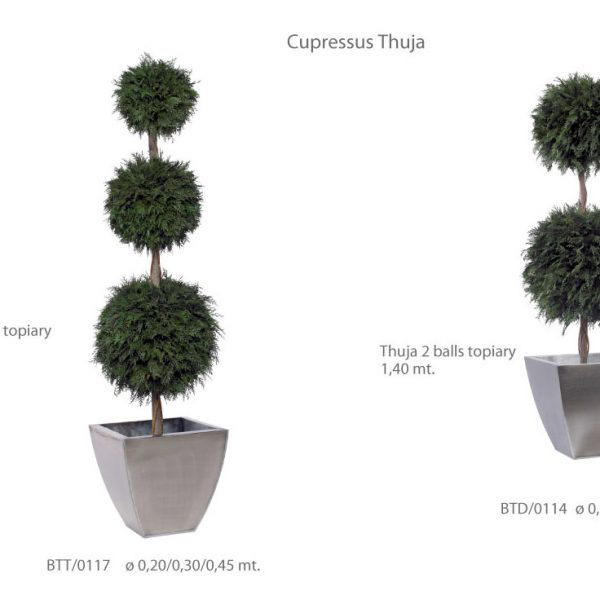 Yeşil Atölye - Şoklanmış Bitkiler - Cupressus Thuja