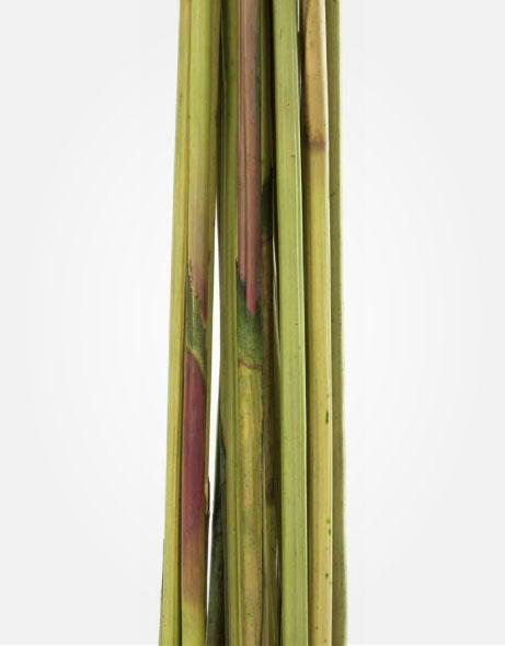 Yeşil Atölye - Şoklanmış Yaprak - Elephant Reed