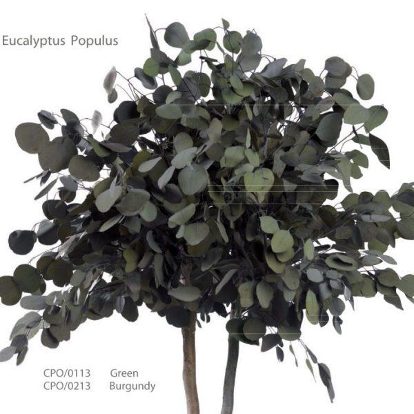 Yeşil Atölye - Şoklanmış Bitkiler - Eucalyptus Populus