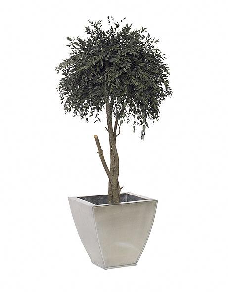 Yeşil Atölye - Şoklanmış Bitkiler - Eucalyptus Parvifolia