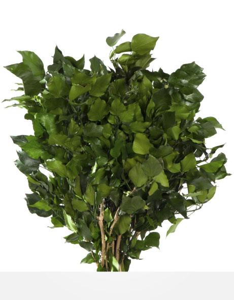Yeşil Atölye - Şoklanmış Yaprak - Hederas