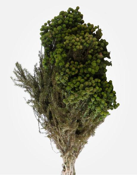 Yeşil Atölye - Şoklanmış Yaprak - Lanuginosa