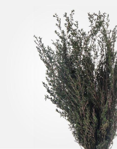 Yeşil Atölye - Şoklanmış Yaprak - Lepto Myrtifolia