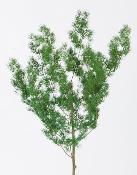 Yeşil Atölye - Şoklanmış Yaprak - Ming Fern