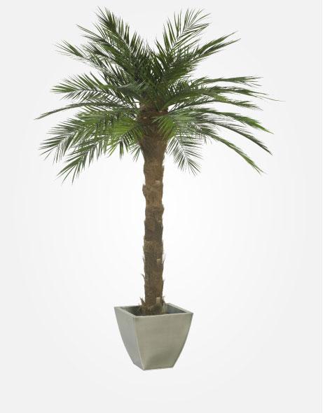 Yeşil Atölye - Şoklanmış Bitkiler - Phoenix Palm