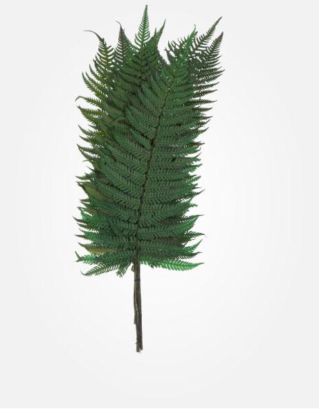 Yeşil Atölye - Şoklanmış Yaprak - Parchment Fern