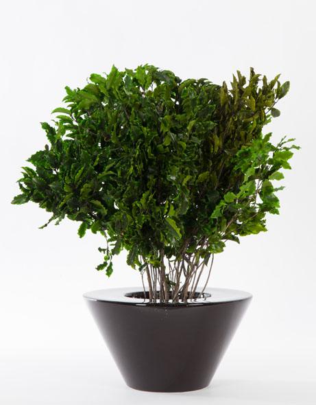 Yeşil Atölye - Şoklanmış Pittosporum
