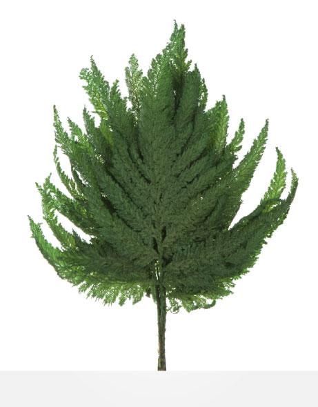 Yeşil Atölye - Şoklanmış Yaprak - Plume Fern