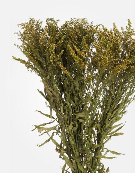 Yeşil Atölye - Şoklanmış Yaprak - Solidago
