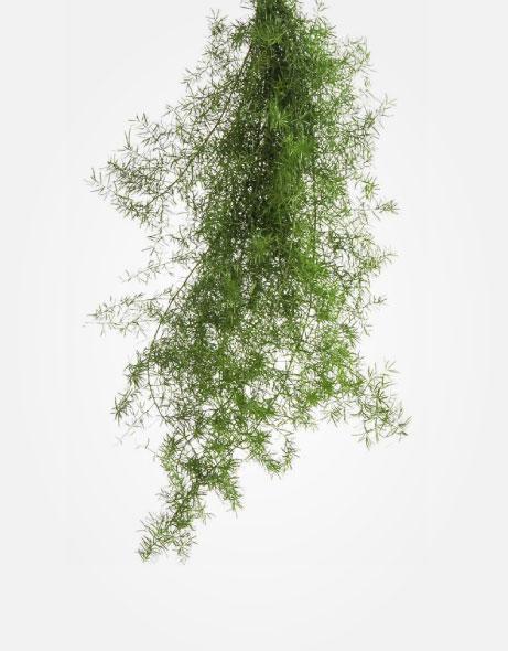 Yeşil Atölye - Şoklanmış Yaprak - Sprengeri