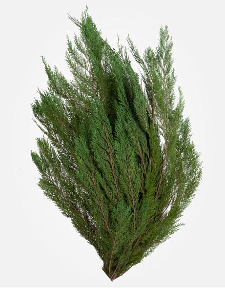 Yeşil Atölye - Şoklanmış Yaprak - Thuja Orientalis