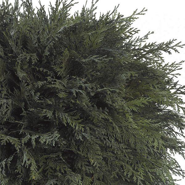 Yeşil Atölye - Şoklanmış Bitkiler - Thuja Topiary