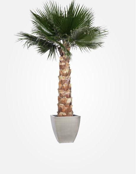 Yeşil Atölye - Şoklanmış Bitkiler - Washingtonia Palm