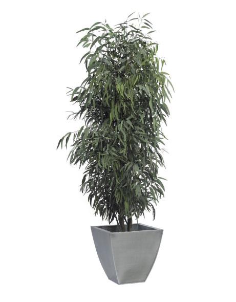 Yeşil Atölye - Şoklanmış Bitkiler - Eucalyptus Pendula